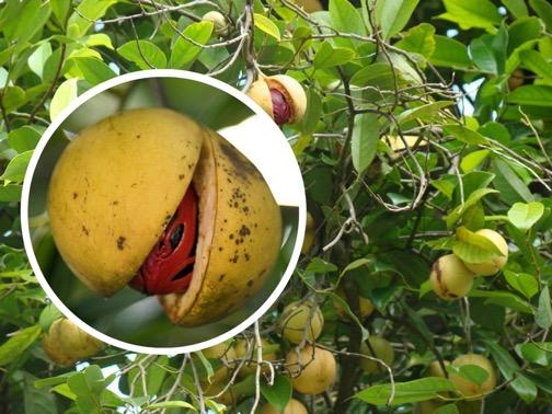 Мускатные орехи на дереве