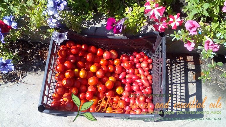 Сладко - соленые помидоры на зиму