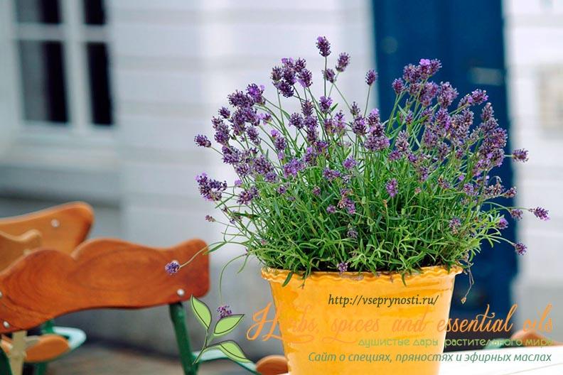 Как вырастить лаванду в домашних условиях из семян