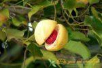 Миниатюра к статье Мускатный орех и его лечебные свойства— раскрываем все секреты