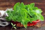 Миниатюра к статье Как вырастить мяту и мелиссу на подоконнике— секреты хорошего урожая